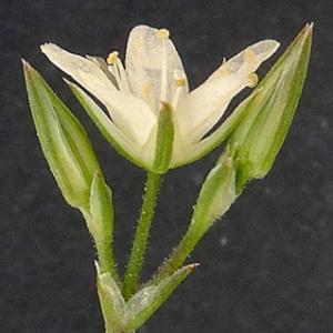 Minuartia rostrata (Pers.) Rchb. (Minuartie à rostre)