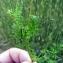 Emmanuel Stratmains - Erodium moschatum (L.) L'Hér. [1789]