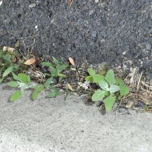 Photographie n°78095 du taxon Chenopodium album L.