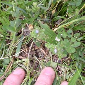 Photographie n°78134 du taxon Veronica arvensis L.