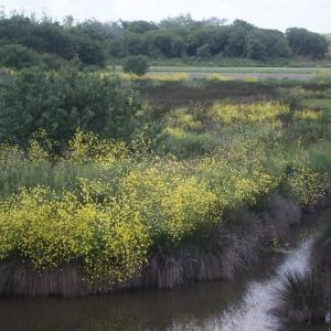 Photographie n°78230 du taxon Brassica nigra (L.) W.D.J.Koch