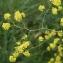 Liliane Roubaudi - Brassica nigra (L.) W.D.J.Koch