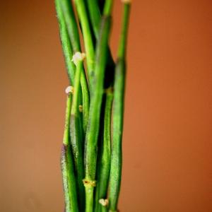 Photographie n°78234 du taxon Brassica nigra (L.) W.D.J.Koch