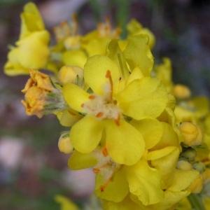 Photographie n°78286 du taxon Verbascum thapsus L.