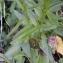 Alain Bigou - Phyteuma spicatum L.