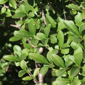 Photographie n°78298 du taxon Ligustrum vulgare L. [1753]