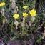 Alain Bigou - Helianthemum nummularium subsp. tomentosum (Scop.) Schinz & Thell. [1909]