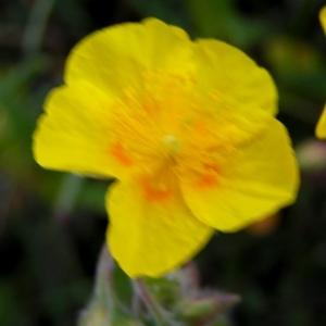 Photographie n°78305 du taxon Helianthemum nummularium subsp. tomentosum (Scop.) Schinz & Thell. [1909]