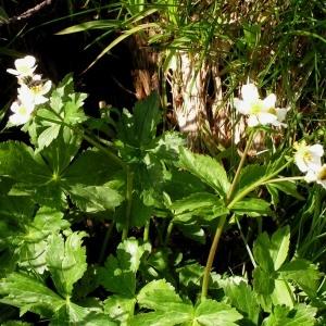 Photographie n°78309 du taxon Ranunculus aconitifolius L. [1753]
