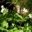 Alain Bigou - Ranunculus aconitifolius L. [1753]