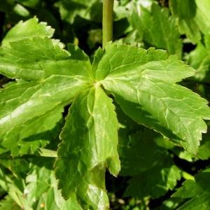 Photographie n°78310 du taxon Ranunculus aconitifolius L. [1753]
