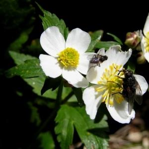 Ranunculus aconitifolius L. (Renoncule à feuilles d'aconit)