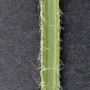 - Scorzonera hirsuta (Gouan) L. [1771]