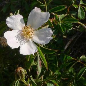 Photographie n°78350 du taxon Rosa agrestis Savi
