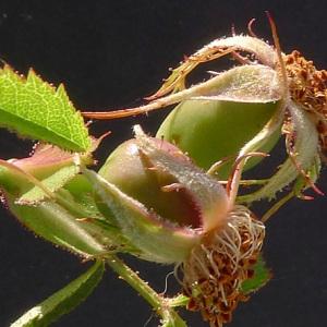 Photographie n°78351 du taxon Rosa agrestis Savi
