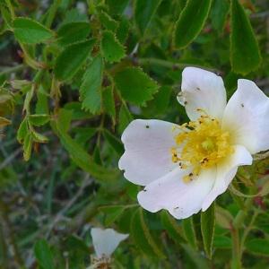 Photographie n°78352 du taxon Rosa agrestis Savi