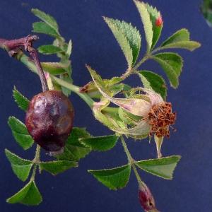 Photographie n°78353 du taxon Rosa agrestis Savi