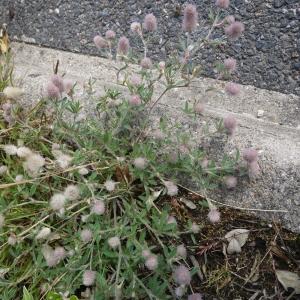 Photographie n°78368 du taxon Trifolium arvense L.
