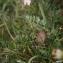 Liliane Roubaudi - Daucus carota subsp. gummifer (Syme) Hook.f. [1884]