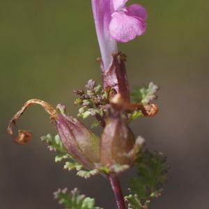 Pedicularis sylvatica L. (Pédiculaire des bois)