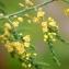Liliane Roubaudi - Asparagus officinalis subsp. prostratus (Dumort.) Corb. [1894]