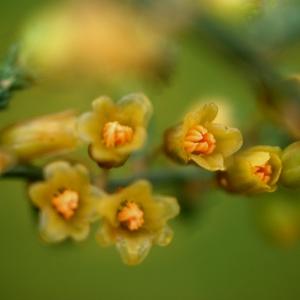 - Asparagus officinalis subsp. prostratus (Dumort.) Corb. [1894]
