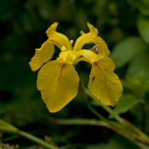 Photographie n°78473 du taxon Iris pseudacorus L. [1753]