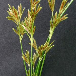 Photographie n°78480 du taxon Cyperus longus L.