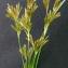 Bertrand BUI - Cyperus longus L.