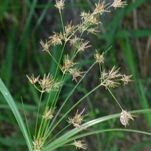 Photographie n°78481 du taxon Cyperus longus L.