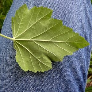 Photographie n°78519 du taxon Althaea officinalis L.