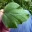 Emmanuel Stratmains - Althaea officinalis L.