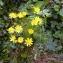 Emmanuel Stratmains - Crepis biennis L. [1753]