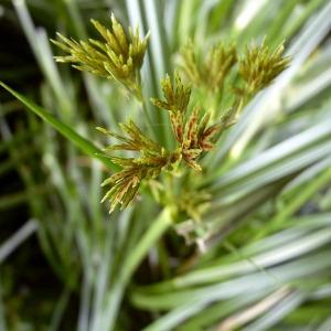 Photographie n°78567 du taxon Cyperus longus L.