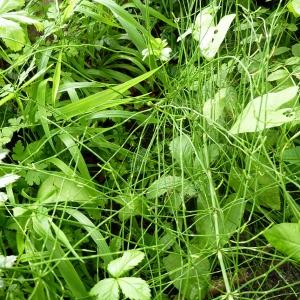 Photographie n°78584 du taxon Equisetum palustre L.