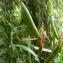 Emmanuel Stratmains - Iris pseudacorus L.