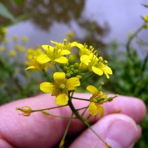 Rorippa amphibia (L.) Besser (Cresson amphibie)