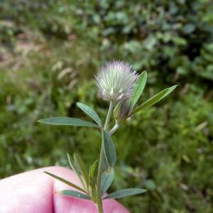 Photographie n°78656 du taxon Trifolium arvense L.