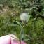 Emmanuel Stratmains - Trifolium arvense L.
