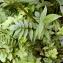 Emmanuel Stratmains - Valeriana officinalis L.