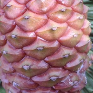 Photographie n°78700 du taxon Pinus maritima Lam. [1779]