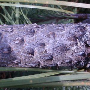 Photographie n°78702 du taxon Pinus maritima Lam. [1779]