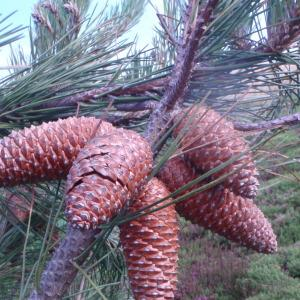 Pinus pinaster Aiton subsp. pinaster (Pin de Corte)