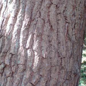 Photographie n°78727 du taxon Quercus robur L. [1753]