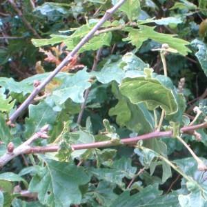 Photographie n°78733 du taxon Quercus robur L. [1753]