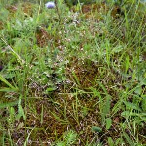 Photographie n°78777 du taxon Agrostis capillaris L.