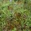 Emmanuel Stratmains - Agrostis capillaris L.