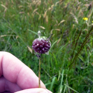 Photographie n°78787 du taxon Allium L.