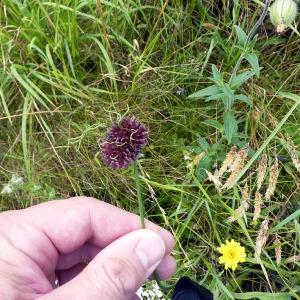 Photographie n°78790 du taxon Allium L.