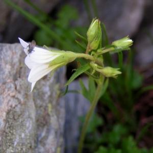 Photographie n°78860 du taxon Saxifraga geranioides L. [1755]